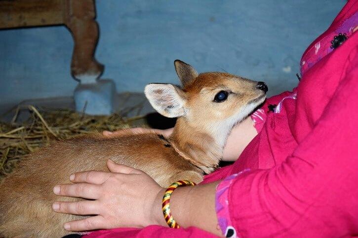 Le bébé cerf est allongé sur mes jambes et me regarde