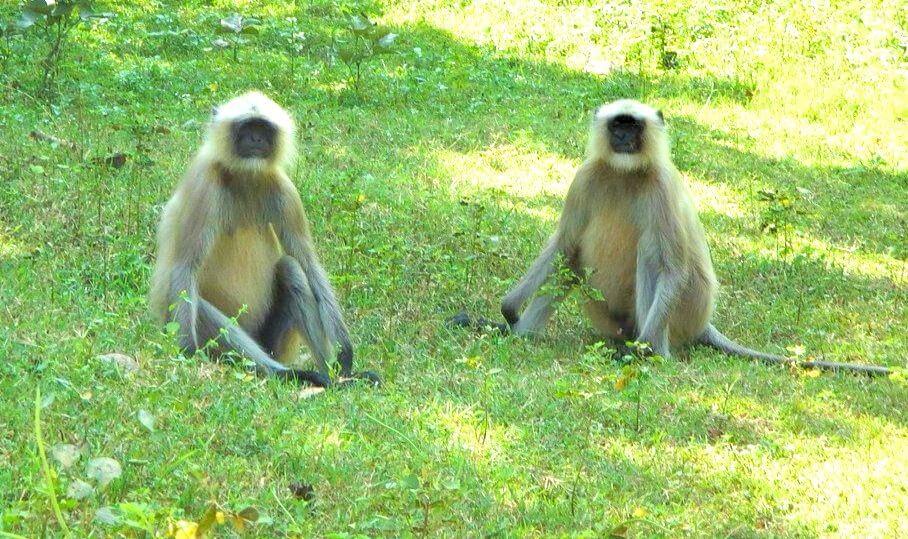 Langur à Barnawapara Chhattisgarh Inde