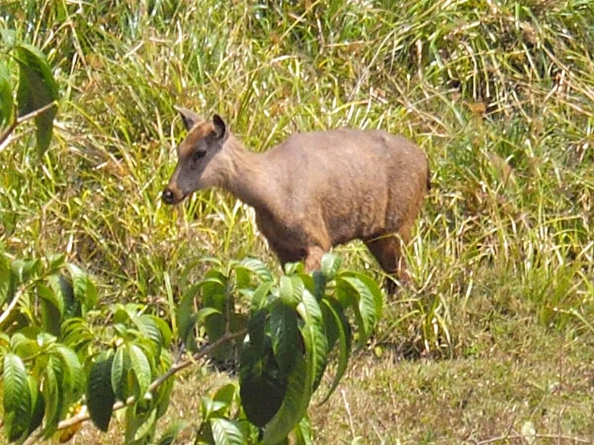 Biche sambar parc national de Periyar Thekkady Kerala Inde