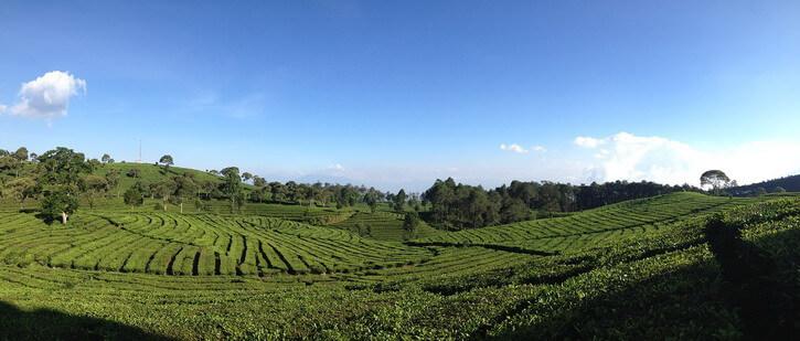 Plantation de thé en chemin vers Bandung sur l'île de Java Indonésie