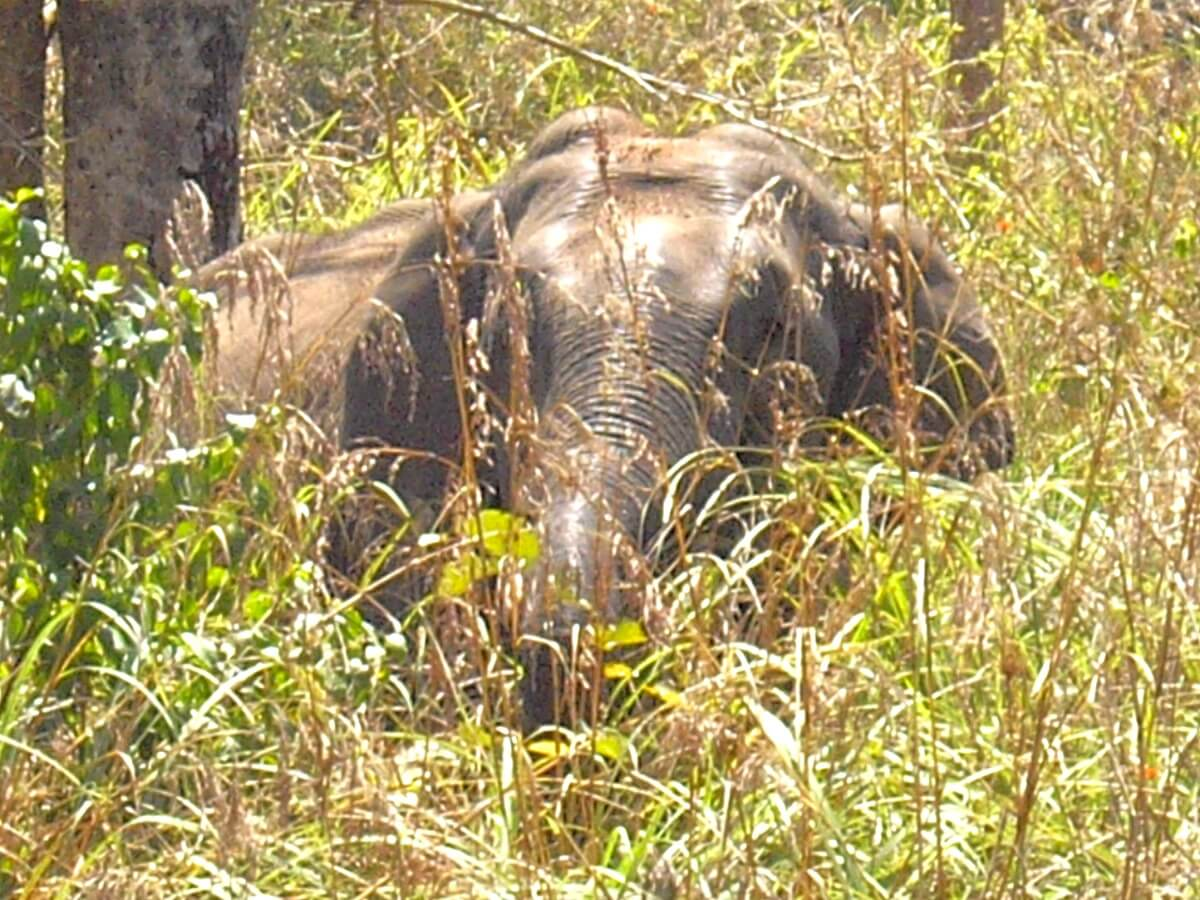 Kerala wild elephant in Periyar national park Kerala India