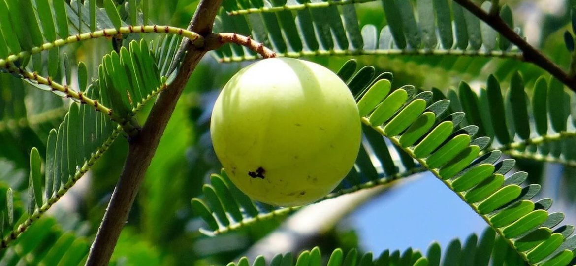 The benefits of amla, the Indian gooseberry, for skin