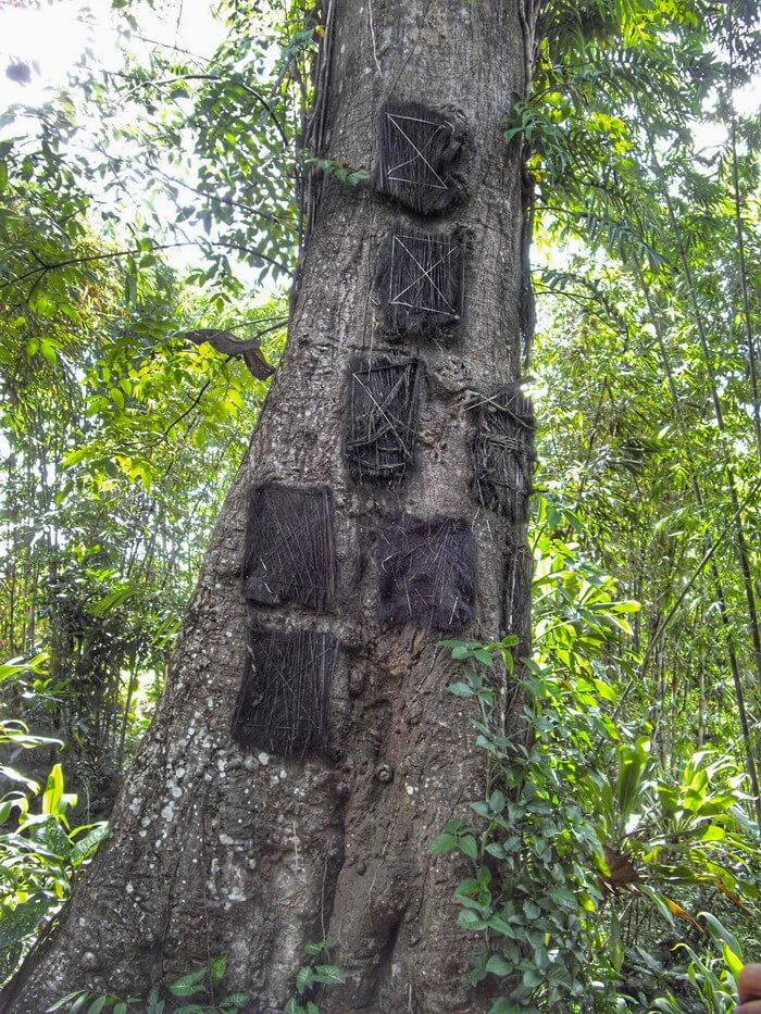 Banyan tree with baby graves inside in Kambira Toraja