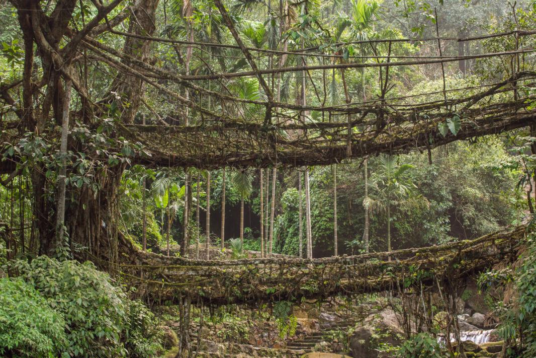 Double pont vivant fait de racines de ficus
