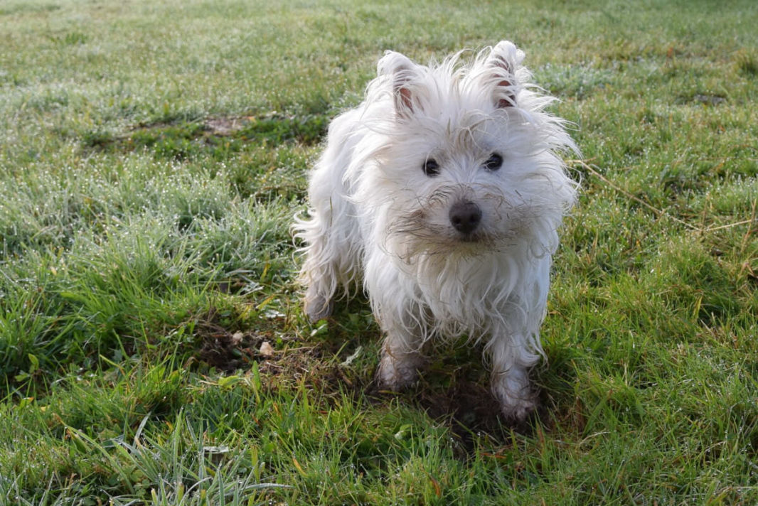 My little westie dog playing in the garden