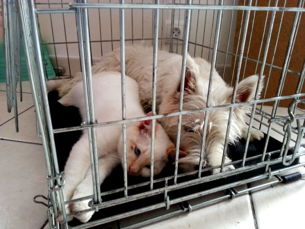 A westie dog and a cat waiting in a cage